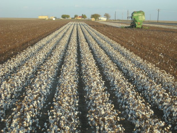 Egypt to revive cotton exports